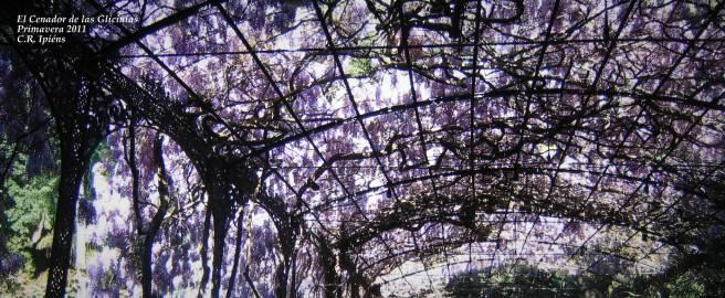 Glicinias -Primavera 2011