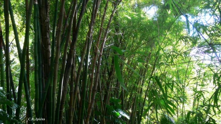 Bosque de Bambúes (2)