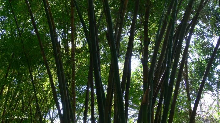 Bosque de Bambúes (1)