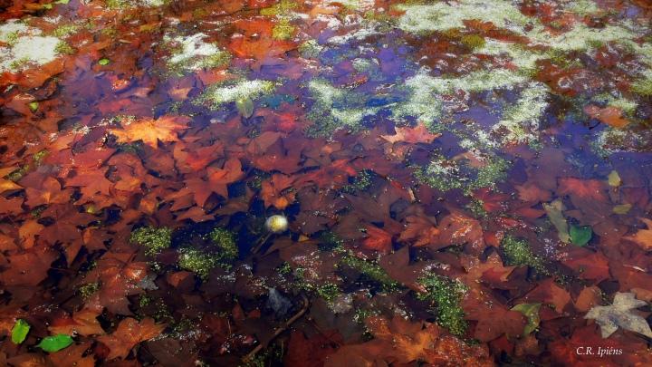 Hojas de Otoño bajo el agua del estanque de Loto (1)