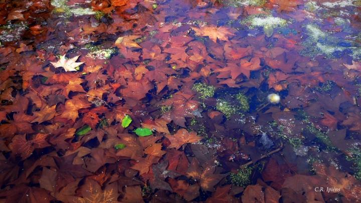 Hojas de Otoño bajo el agua del estanque de Loto (2)