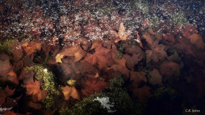 Hojas de Otoño bajo el agua del estanque de Loto (5)