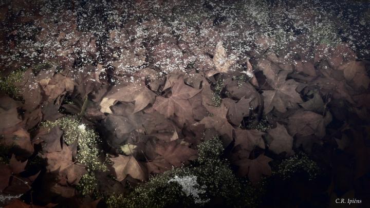 Hojas de Otoño bajo el agua del estanque de Loto (6) -Variación 1