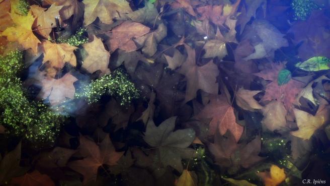Hojas de Otoño bajo el agua del estanque de Loto (8)