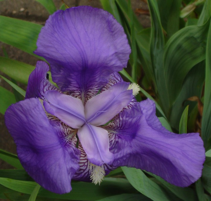 iris_germanica_002