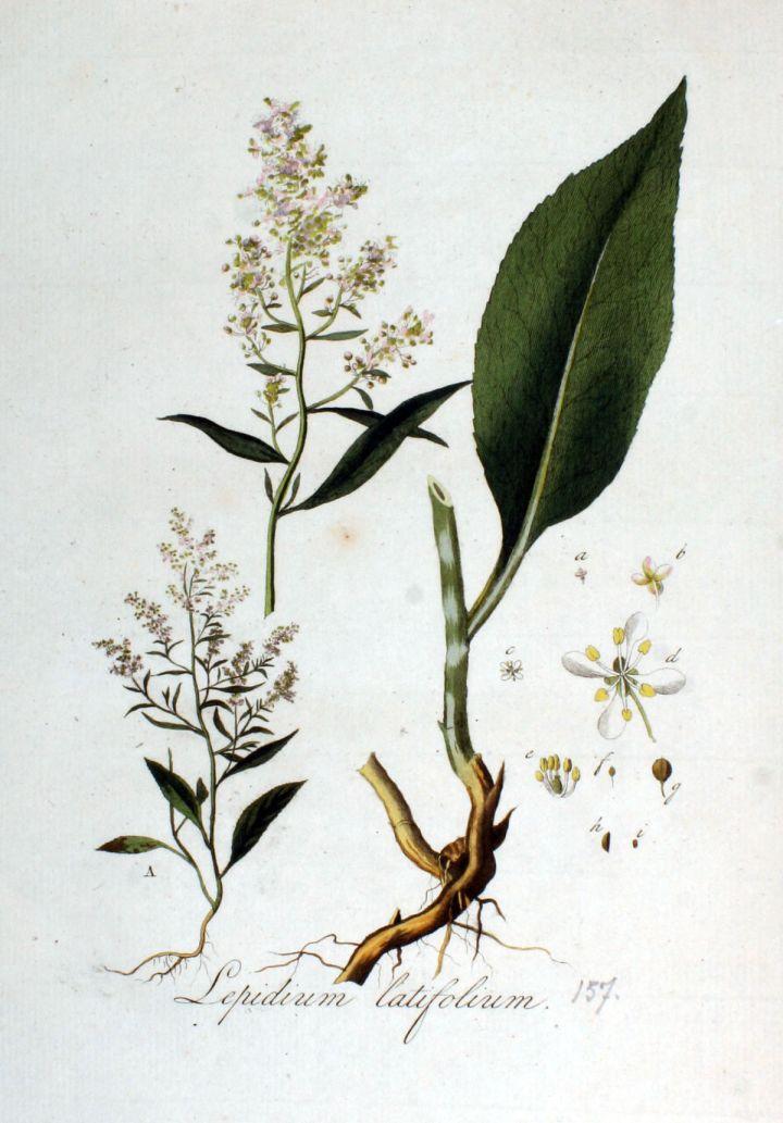 Lepidium_latifolium_—_Flora_Batava_—_Volume_v2