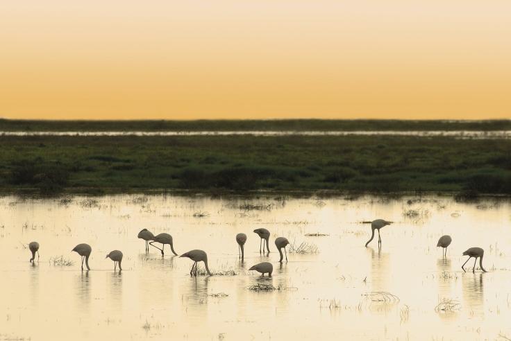 Grearer flamingos at sunset National park DoÒana Spain